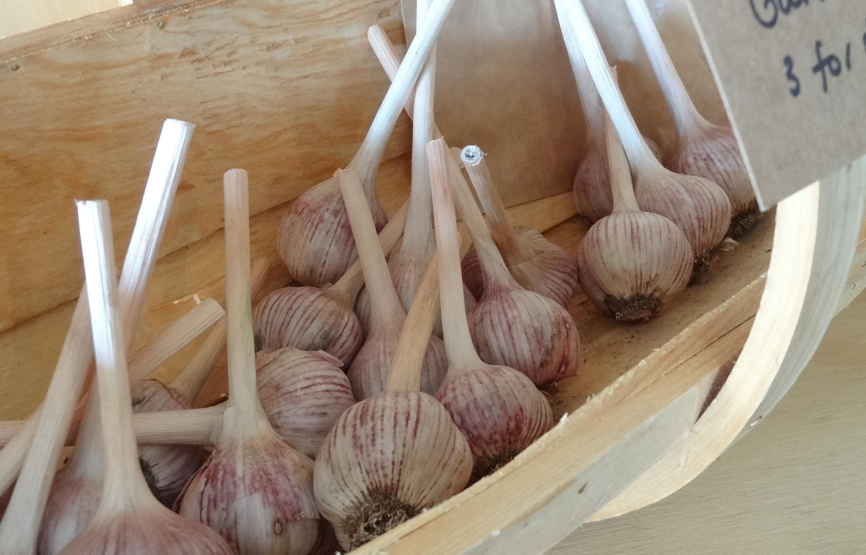 garlic ravensfarm
